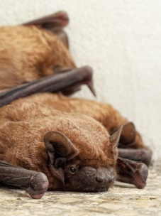 North Carolina bat removal